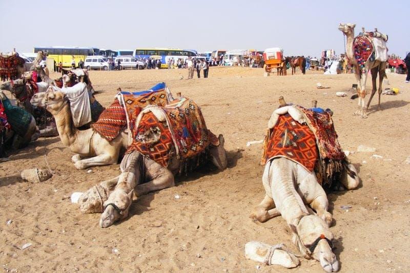 camels near the pyramids at giza