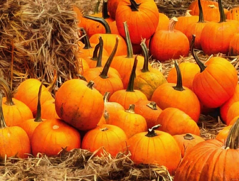 a pumpkin field getting ready to celebrate samhain