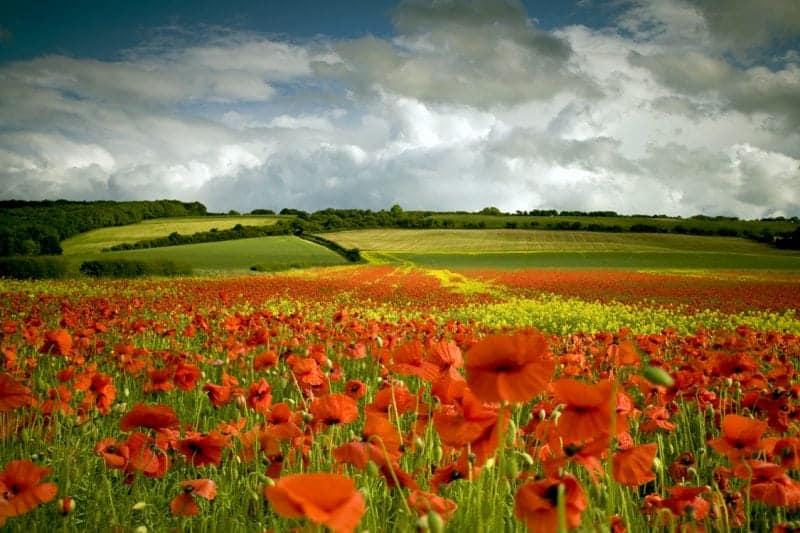 flower tourism the poppy fields of Tuscany
