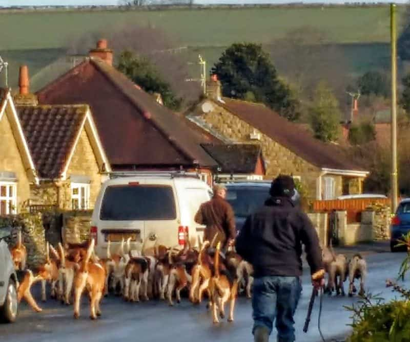 excercising the hounds in Snainton Yorkshire
