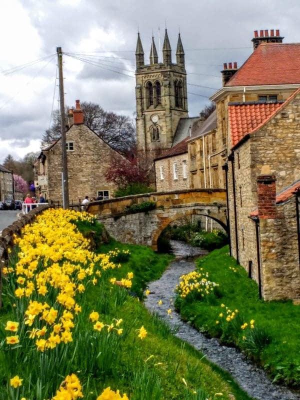 Helmsley daffodils in YOrkshire
