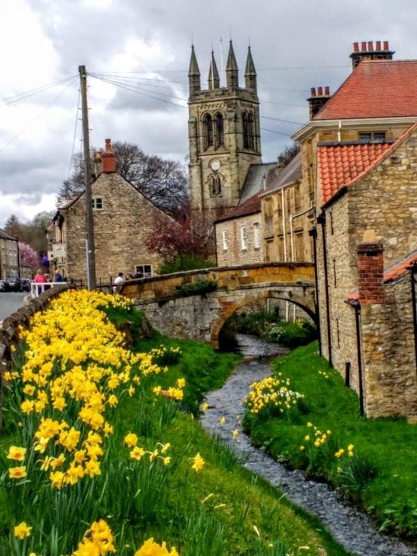 wild daffodils growing on the river bank in Helmsley Yorkshire