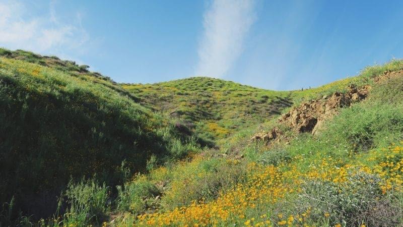 Walker Canyon wild flowers California