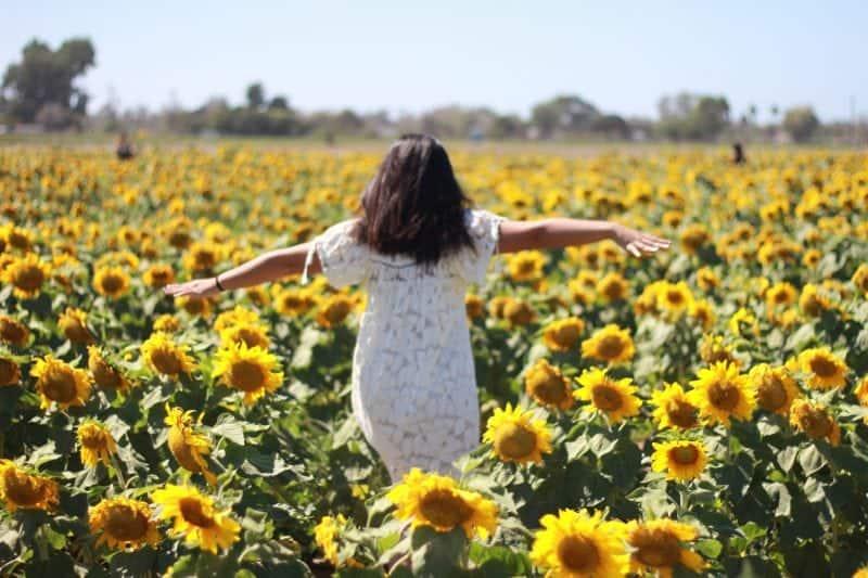 Suzie's Sunflower Farm California