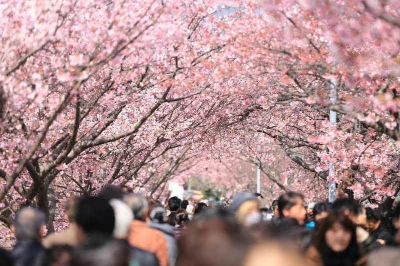 Cherry blossoms on the Mall in Washington DC Flower Tourism