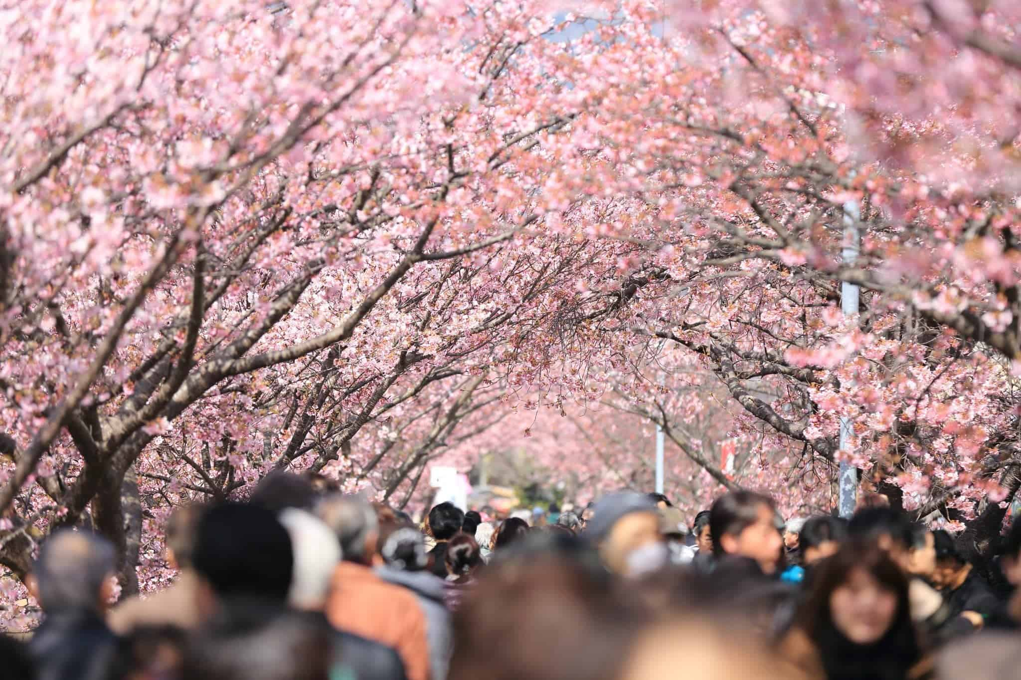 cherry blossoms in Washington flower tourism