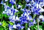 bluebells Scotland