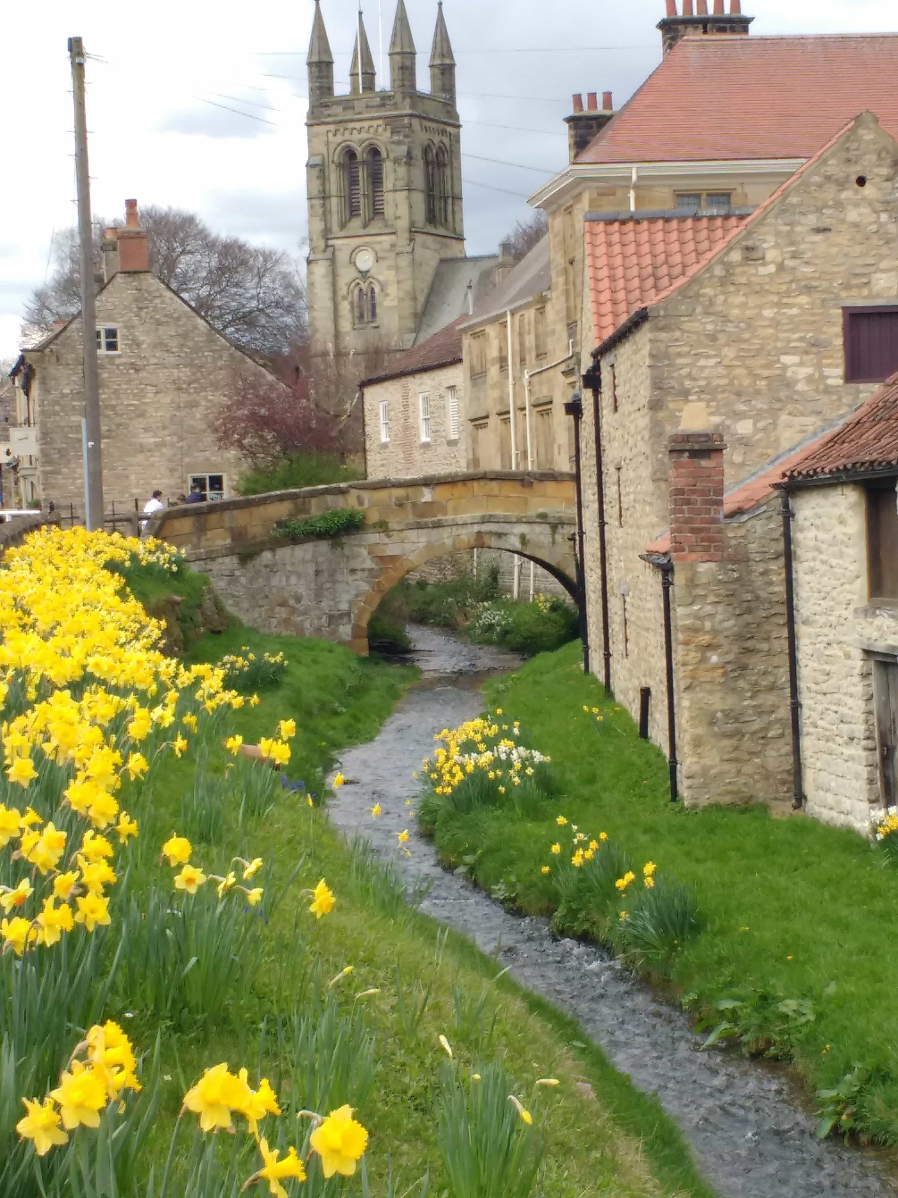 spring daffodils blooming in Yorkshire
