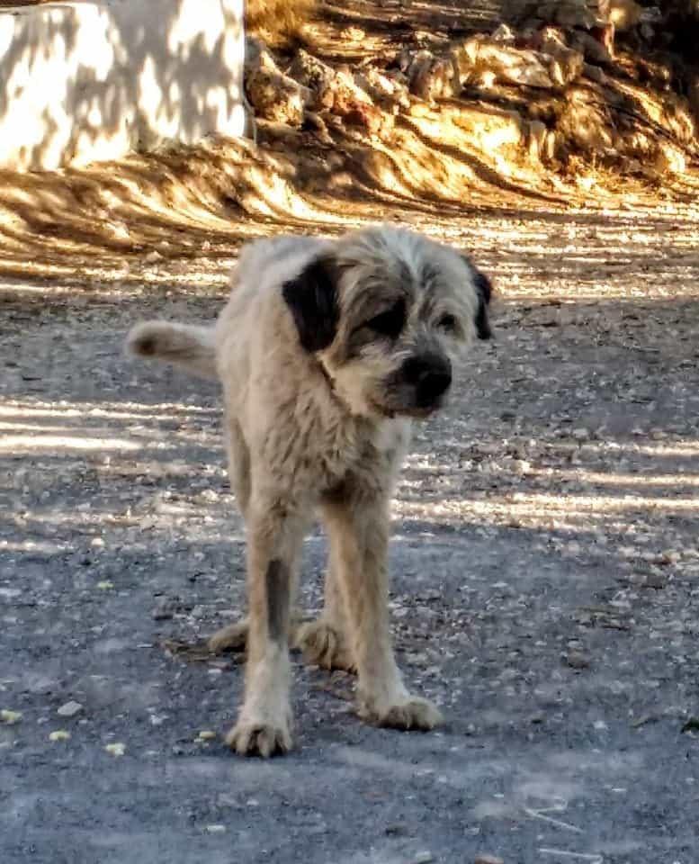 beautiful yeti - the lovely dog we housesat in Spain