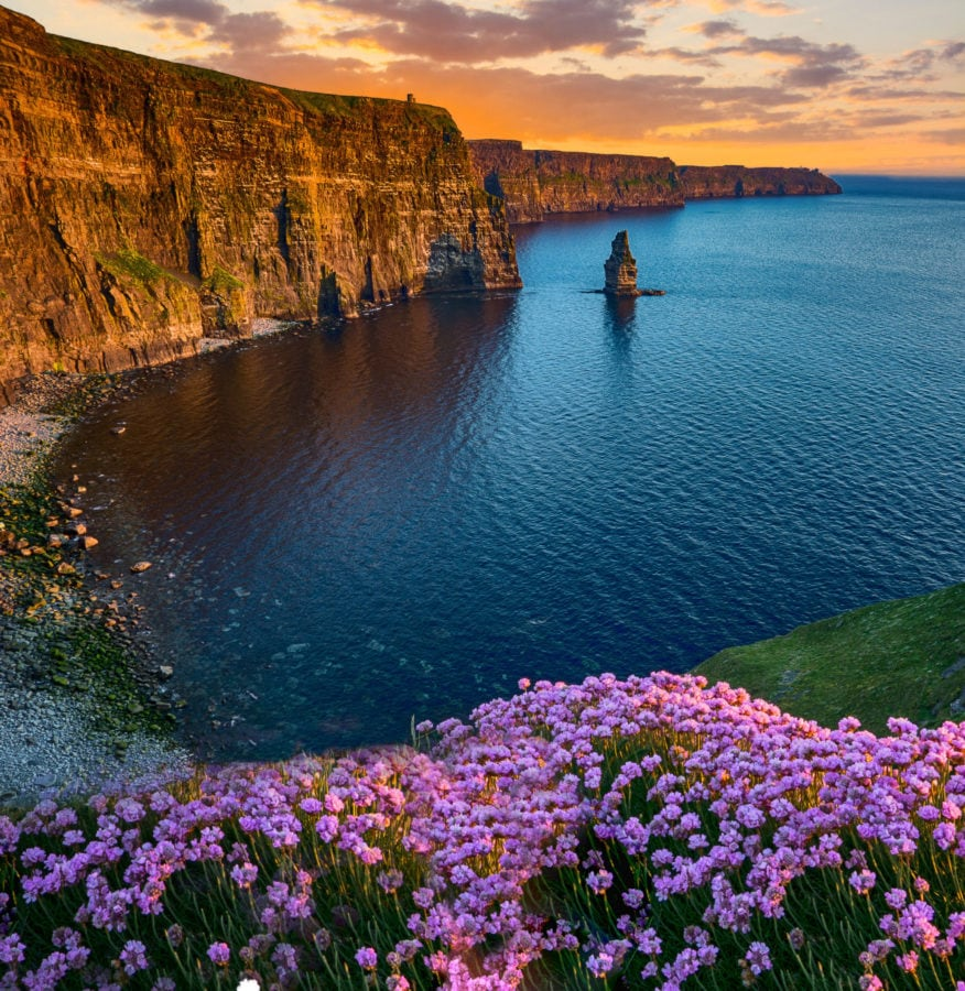 the Cliffs of Moher at sunset with purple flowers in the foreground