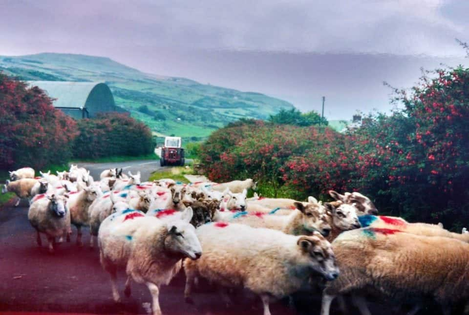 sheep herding traffic jam in the spring in the best time to visit Ireland
