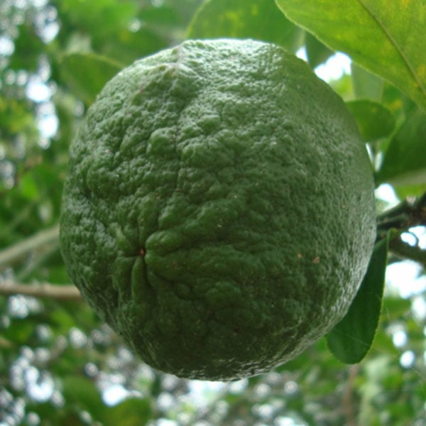sour orange as used in the Yucatan
