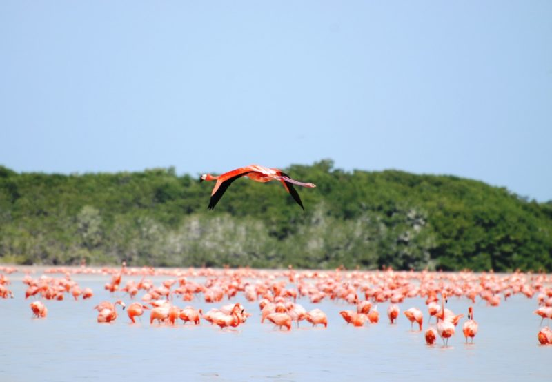 chicxulub mexico the flamingo breeding grounds