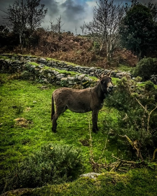 Irish donkey in a field