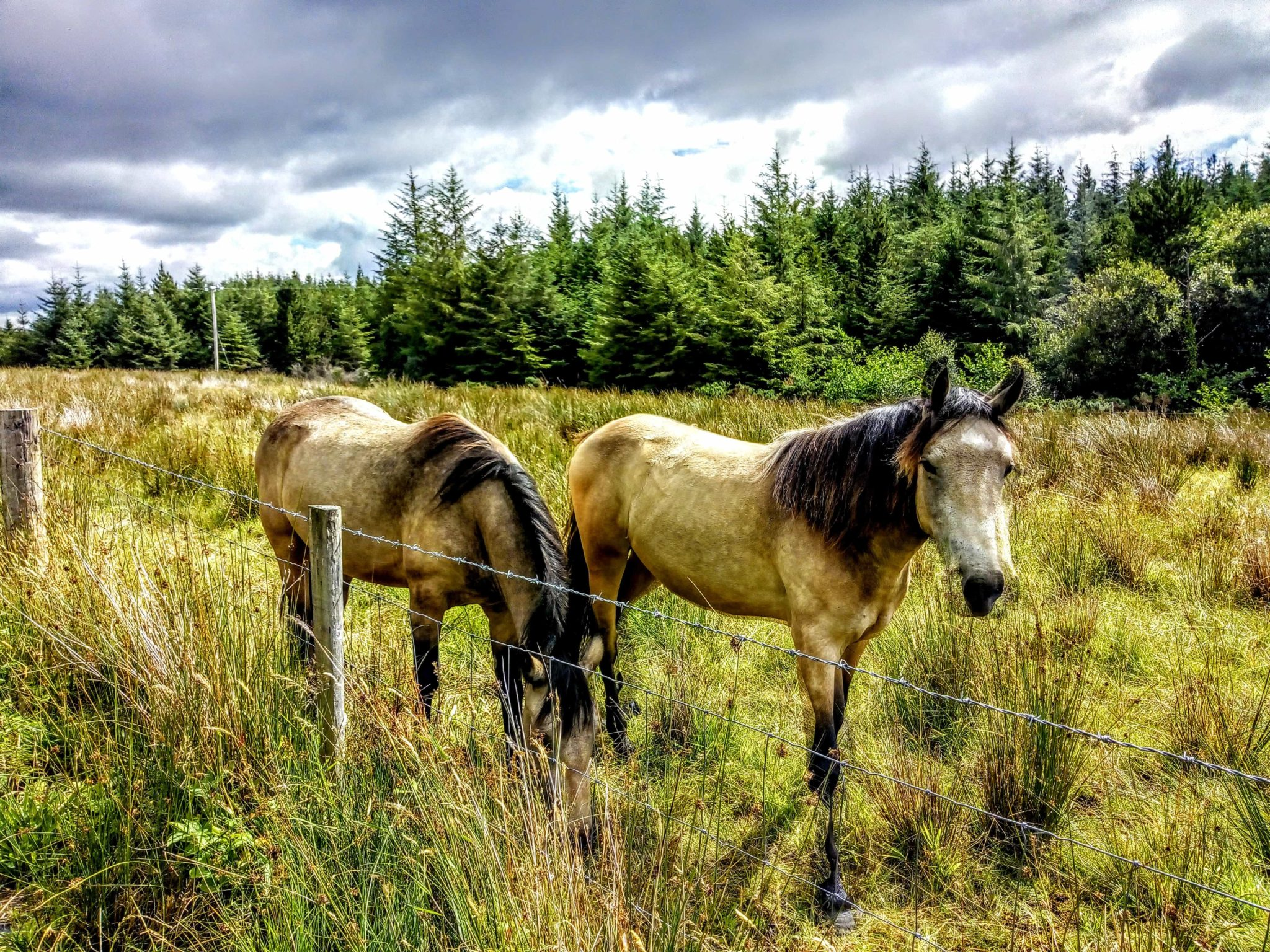 Irish ponies in the field
