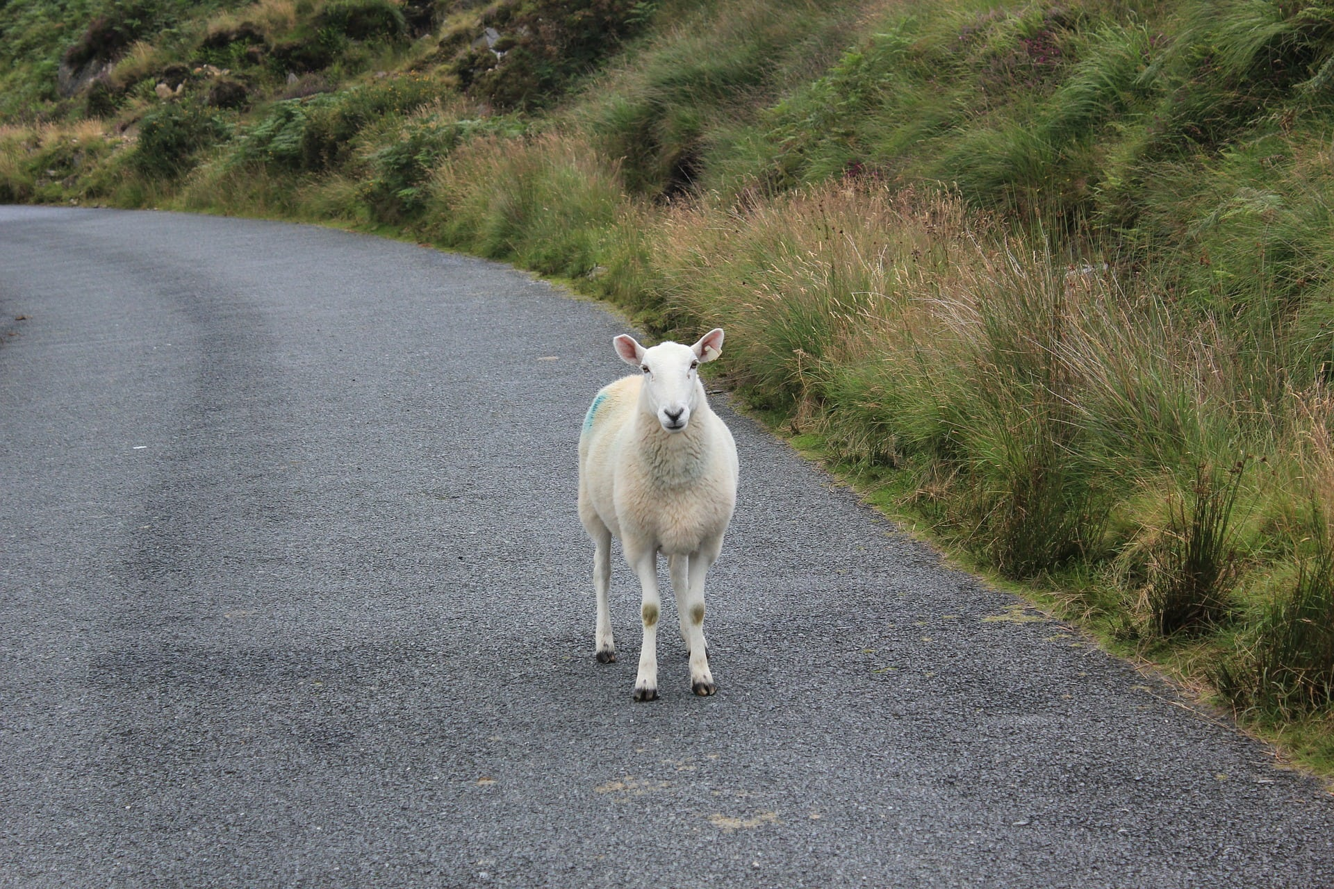 animal friendly travel a sheep in the middle of the road