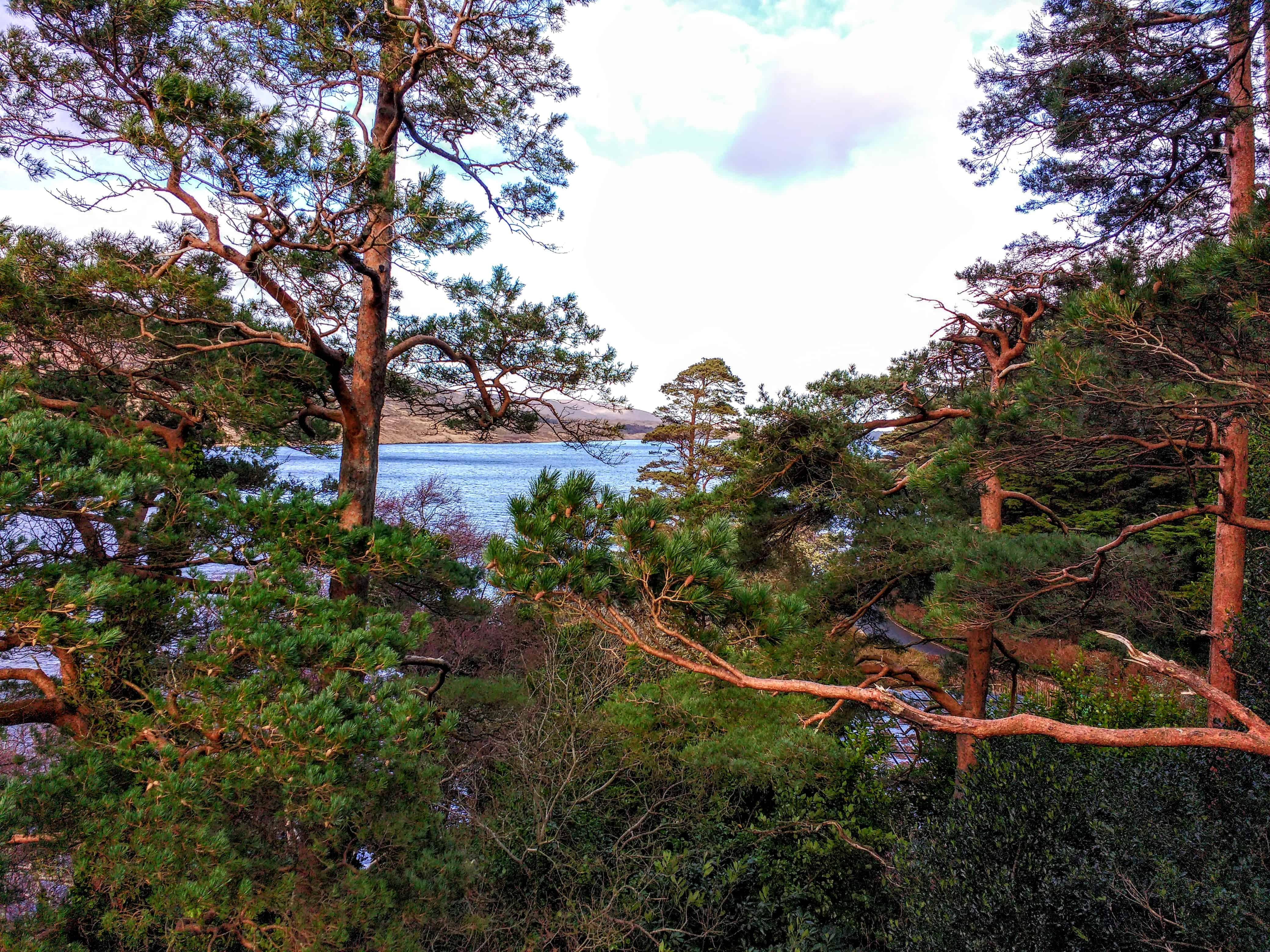 a stand of scotch pines and a view of Lough Veagh in Glenveagh's Castle grounds