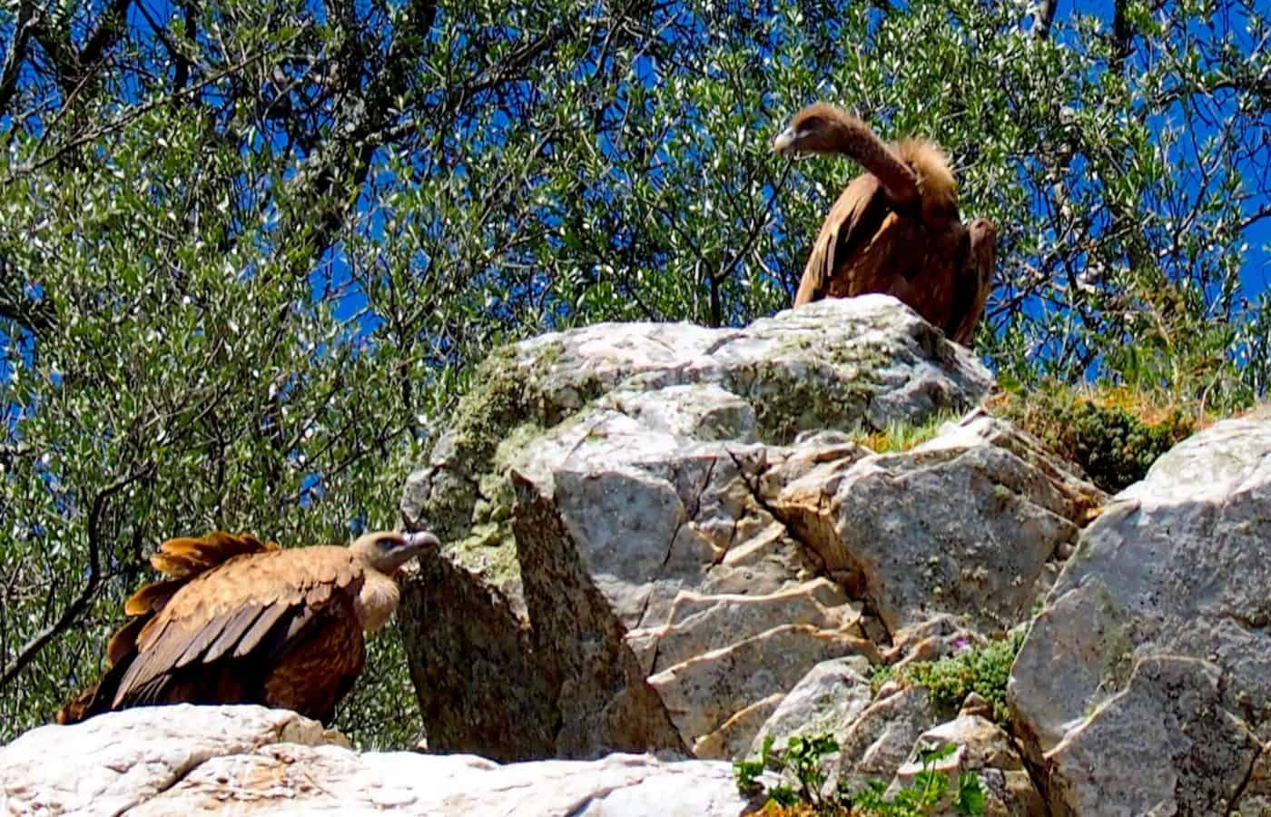vultures seated upon a rock in the hidden places of Spain