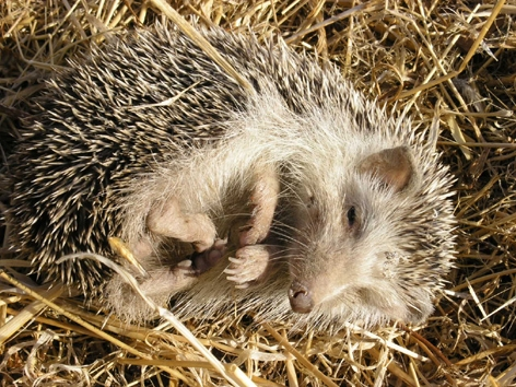 a tiny curled up Spanish Hedgehog only found in the Tabernas Desert