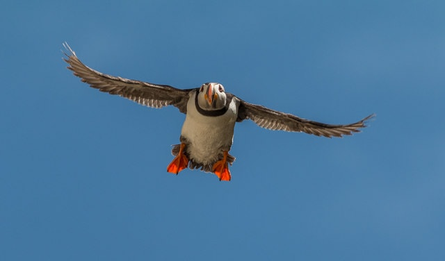 The best places to find Atlantic puffins in Ireland