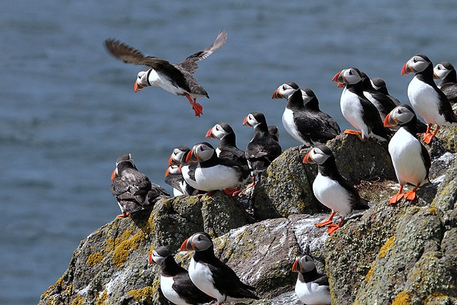 a bunch of puffins with their orange and yellow beaks clustered on a cliff getting ready for take off