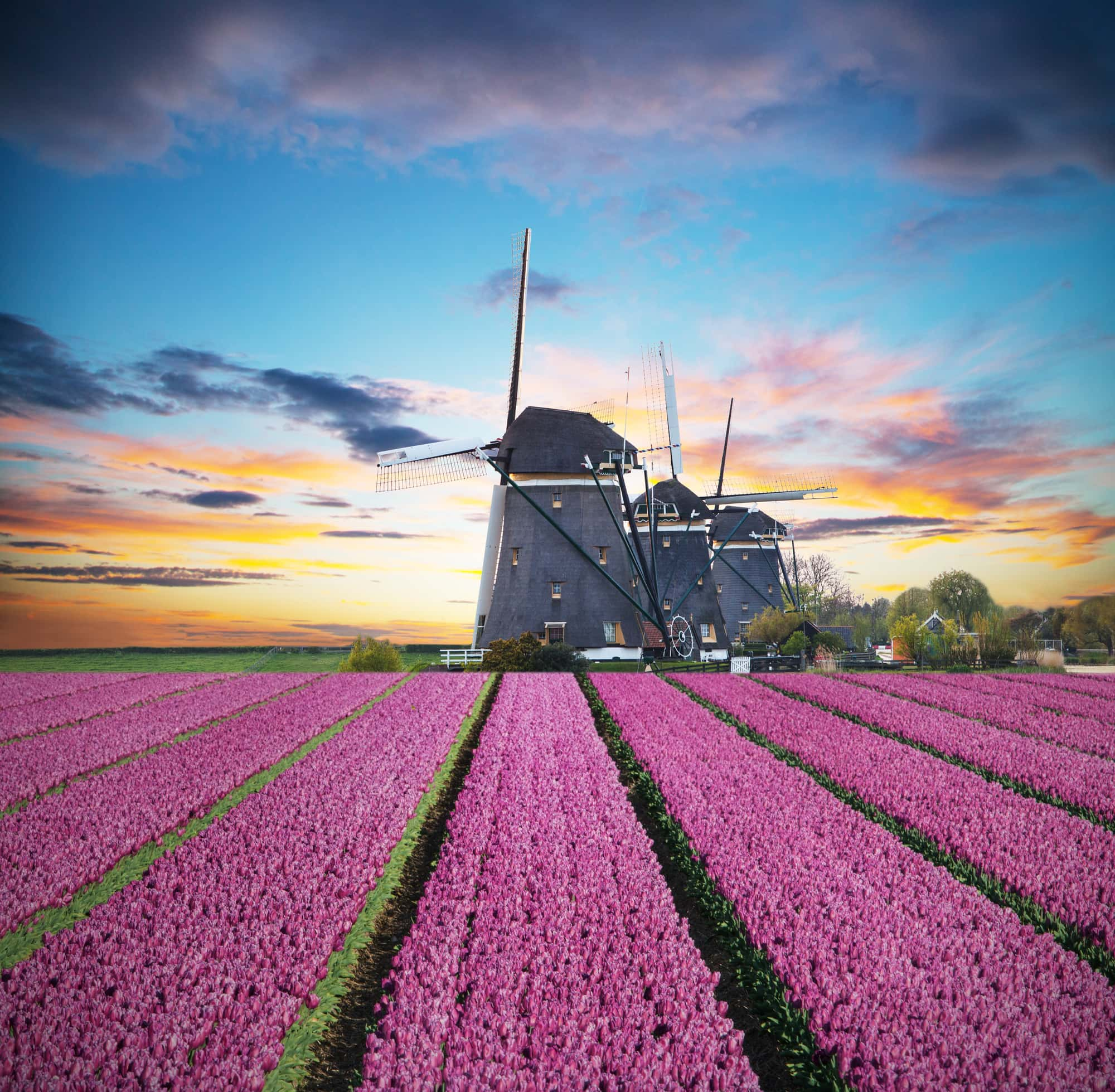 Vibrant tulips field with Dutch windmill, Netherlands. Beautiful cloudy sky